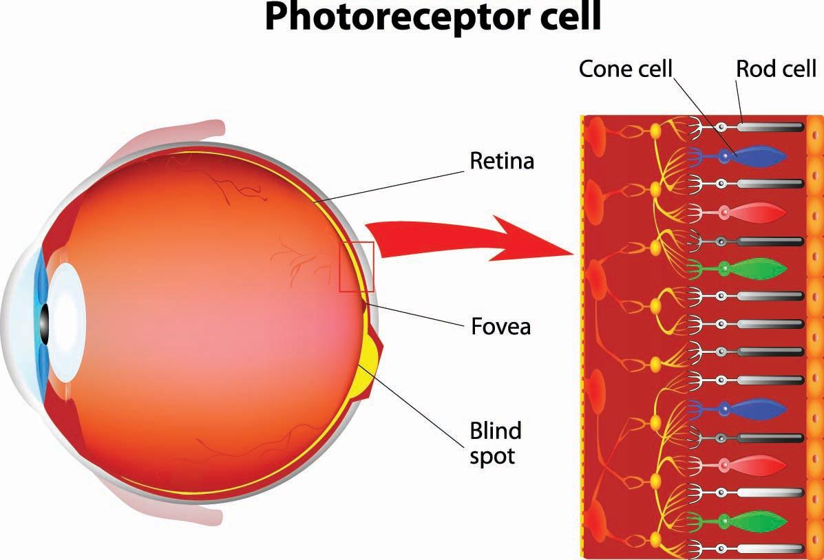 How The Eye Functions Dr Shady Awwad Eye Surgeon At Aubmc